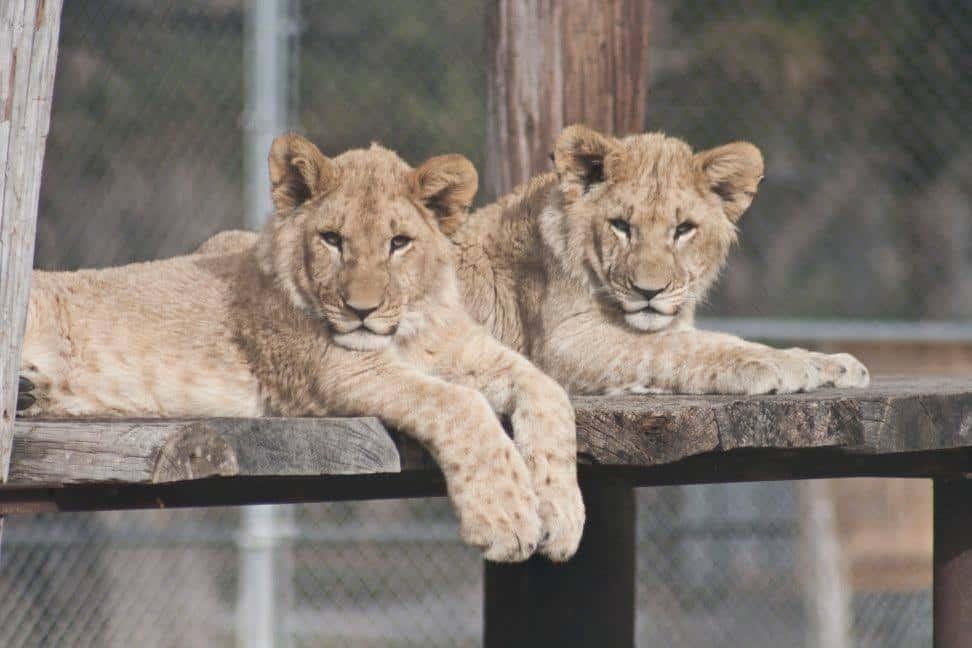 Denver-Zoo-lions